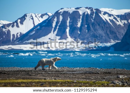 Polar bear in south Spitsbergen #1129595294