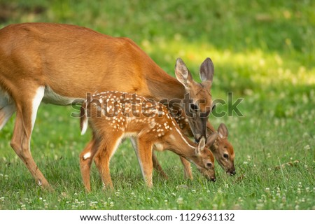 A white-tailed deer doe and its two fawns in an open meadow in summer Royalty-Free Stock Photo #1129631132