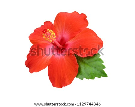 Hibiscus flower or Chinese Rose, Hawaiian hibiscus, China Rose,Shoe flower with leaves isolated on white background #1129744346