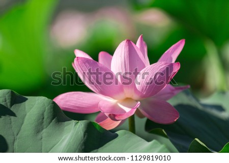 The beautiful lotus flowers blooming in the water #1129819010