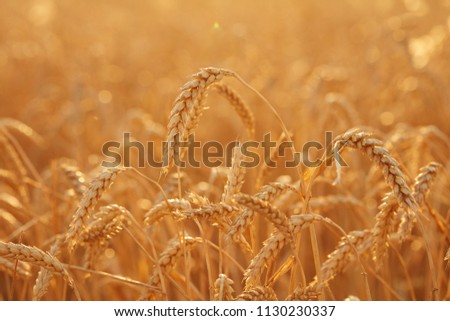 Summer time for harvest. Golden ears of wheat are ready for Harvest. Harvest Concept. Background of wheat field. #1130230337