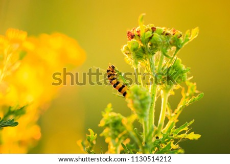 Cinnabar caterpillars are larvea of the cinnabar moth (Tyria jacobaeae). Here found feeding on the yellow flowered ragwort (Jacobaea vulgaris) during sunset. #1130514212
