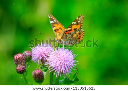 Painted Lady butterfly (vanessa cardu) feeding nectar from a purple thistle. #1130515625