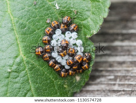 Brown Marmorated Stinkbug nymphs just hatched from their eggs (Halyomorpha halys)