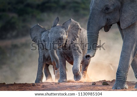 Young African elephants racing toward the water, stirring up dust in the late afternoon sun. Addo Elephant National Park, South Africa Royalty-Free Stock Photo #1130985104
