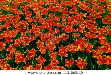 a garden of red tulips #1131060110