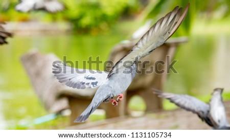 animal life of pigeon #1131105734
