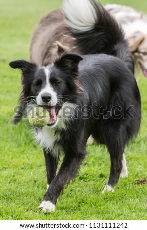 border collie dog outdoors in Belgium #1131111242