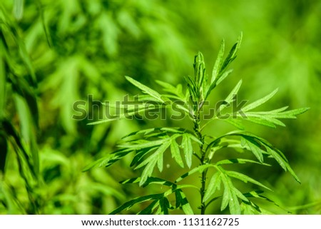 Artemisia vulgaris (mugwort, common wormwood) ; An appearance green foliage, pinnately compound leaves, Deep concave leaf margin, seeing centerline leaf clearly, thin, strong smell. herbal medicines. #1131162725