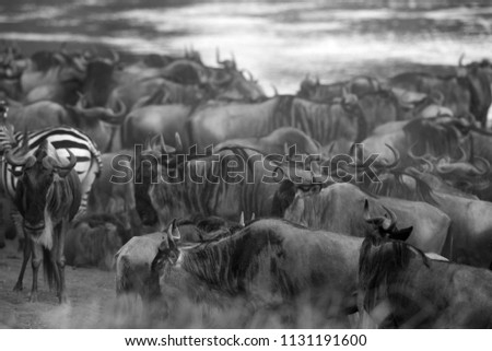 Wildebeests and zebras waiting along the Mara river #1131191600