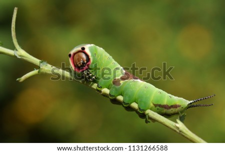 A stunning Puss Moth Caterpillar (Cerura vinulais) perching on a twig in woodland . #1131266588
