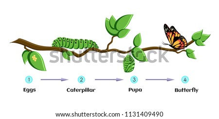 Life cycle of butterfly (eggs, caterpillar, pupa, butterfly). Metamorphosis. Educational biology for kids. Cartoon vector illustration in flat style.