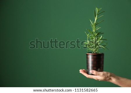 Woman holding pot with fresh rosemary on color background #1131582665