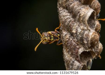 Ropalidia fasciata- paper wasp protecting her baby/larva #1131679526