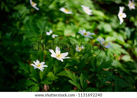 Toned picture of field of white flowers outdoor in sunny day shallow depth of field #1131692240