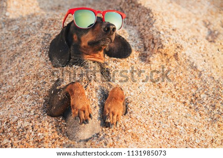 cute dog of dachshund, black and tan, wearing red sunglasses, having relax and enjoying buried in the sand at the beach ocean on summer vacation holidays #1131985073