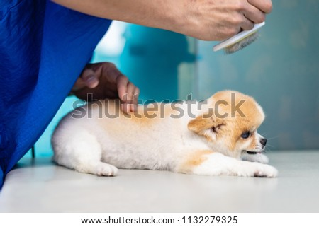 Groomer man haircut cute Pomeranian in hair service. Dog grooming, pet , beauty and business concepts. #1132279325