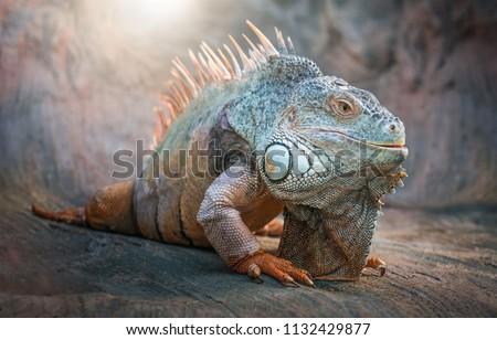 Lizard Iguana, in a cave where lizards live. #1132429877