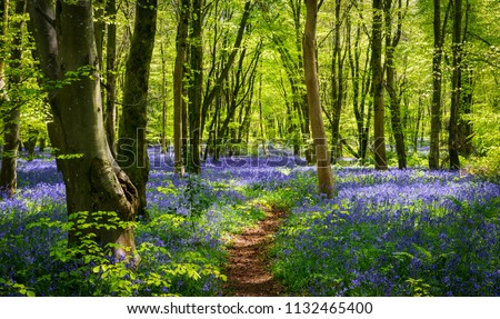 Sun streams through bluebell woods with deep blue purple flowers under a bright green beech canopy Royalty-Free Stock Photo #1132465400