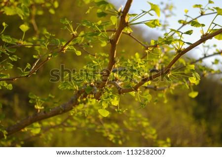 GINKO LEAF#BEATIFUL GINKO LEAF IN SUMMER TIME#BACKGROUND#FRESH BACKGROUND#FRESHNESS#GINKO BILOBA#GINKO LEAVES#GINKO TREE#GREEN#GREEN ENERGY#GREEN LEAF#LEAFS#NATURE#NATURAL#PLANT#SUMMER#BLUE SKY #1132582007