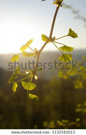 GINKO LEAF#BEATIFUL GINKO LEAF IN SUMMER TIME#BACKGROUND#FRESH BACKGROUND#FRESHNESS#GINKO BILOBA#GINKO LEAVES#GINKO TREE#GREEN#GREEN ENERGY#GREEN LEAF#LEAFS#NATURE#NATURAL#PLANT#SUMMER#BLUE SKY #1132582013