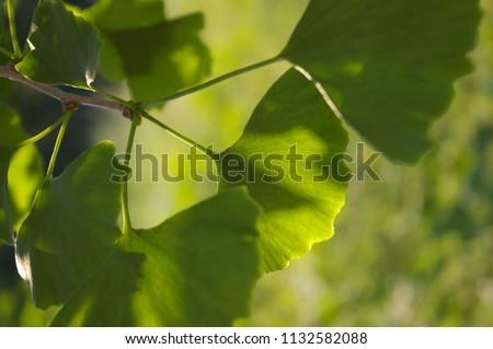 GINKO LEAF#BEATIFUL GINKO LEAF IN SUMMER TIME#BACKGROUND#FRESH BACKGROUND#FRESHNESS#GINKO BILOBA#GINKO LEAVES#GINKO TREE#GREEN#GREEN ENERGY#GREEN LEAF#LEAFS#NATURE#NATURAL#PLANT#SUMMER#BLUE SKY #1132582088