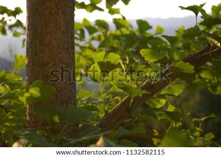 GINKO LEAF#BEATIFUL GINKO LEAF IN SUMMER TIME#BACKGROUND#FRESH BACKGROUND#FRESHNESS#GINKO BILOBA#GINKO LEAVES#GINKO TREE#GREEN#GREEN ENERGY#GREEN LEAF#LEAFS#NATURE#NATURAL#PLANT#SUMMER#BLUE SKY #1132582115