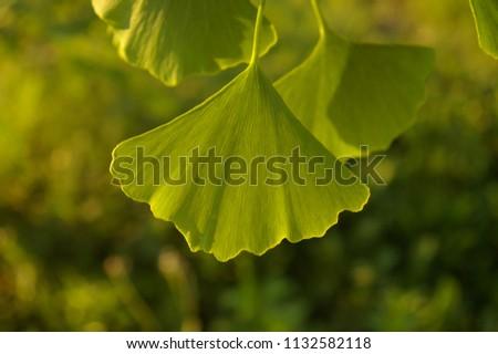 GINKO LEAF#BEATIFUL GINKO LEAF IN SUMMER TIME#BACKGROUND#FRESH BACKGROUND#FRESHNESS#GINKO BILOBA#GINKO LEAVES#GINKO TREE#GREEN#GREEN ENERGY#GREEN LEAF#LEAFS#NATURE#NATURAL#PLANT#SUMMER#BLUE SKY #1132582118