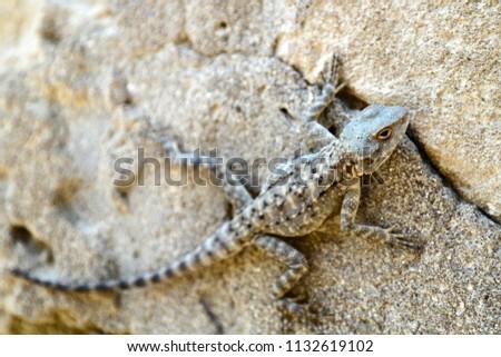 Laudakia caucasia: The Caucasian agama (Paralaudakia caucasia) is a species of agamid lizard found in the Caucasus. Photos are taken in Azerbaijan Absheron peninsula.  #1132619102