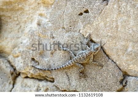 Laudakia caucasia: The Caucasian agama (Paralaudakia caucasia) is a species of agamid lizard found in the Caucasus. Photos are taken in Azerbaijan Absheron peninsula.  #1132619108