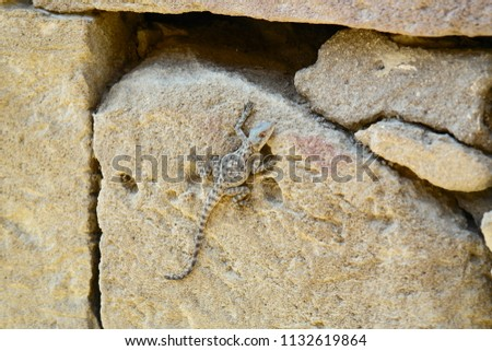 Laudakia caucasia: The Caucasian agama (Paralaudakia caucasia) is a species of agamid lizard found in the Caucasus. Photos are taken in Azerbaijan Absheron peninsula.  #1132619864