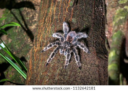 Tarantula photographed in the city of Cariacica, Espirito Santo, Southeast of Brazil. Atlantic Forest Biome. Picture made in 2012.