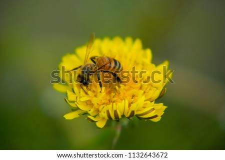 The honeybee is busy collecting nectar from dandelion flower.