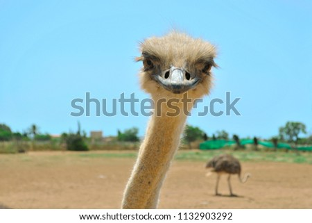 Close-up portrait of adult female ostrich with another ostrich in a background taken in a sunny midday at Artestruz ostrich farm, south of Campos, Mallorca #1132903292