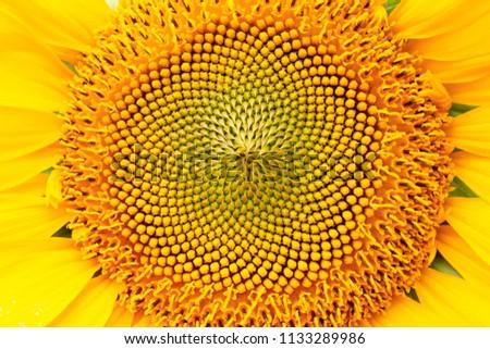 Sunflower big flower #1133289986