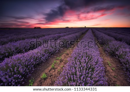 Stunning landscape with lavender field at sunset  #1133344331