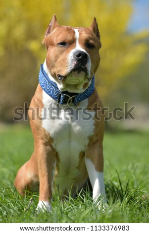 American Staffordshire Terrier sits in the spring outdoors #1133376983