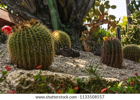Flora. Large cacti of round form on sandy ground #1133508557