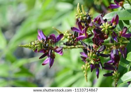 Evergreen wisteria flowers / Millettia reticulata #1133714867