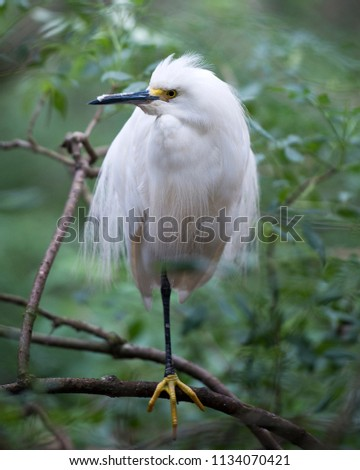 Snowy Egret in it's environment.  #1134070421