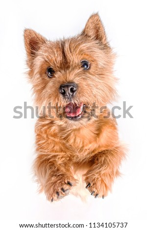 Portrait of a small dog (Norwich Terrier). The dog stands on its hind legs with its tongue hanging out on a white (isolated) background. #1134105737
