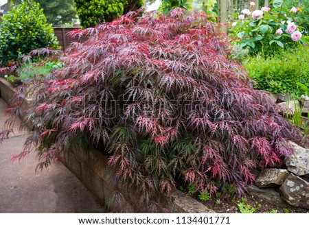 Red foliage of the weeping Laceleaf Japanese Maple tree (Acer palmatum) in garden #1134401771