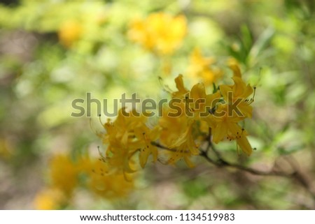 blooming park bush. Yellow flowers of a bush #1134519983