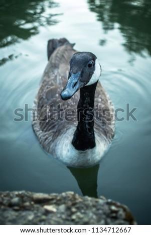 Curious Canadian Goose Looking Towards Camera #1134712667