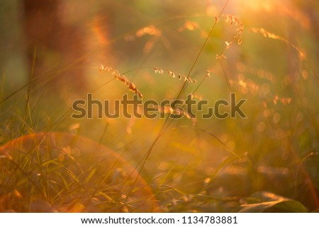 Grass and plants in orange sunlight in sunset. Abstract blurred bokeh background #1134783881