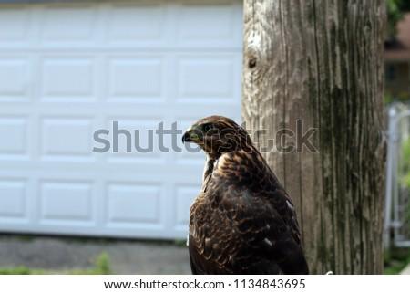 falcon near house #1134843695