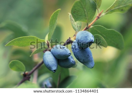 Several mature honeysuckle berries hanging from a branch. Forest ripened blue berry growing in the wild. Honeysuckle. #1134864401