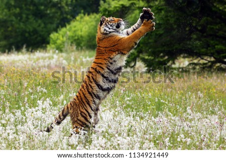 The Siberian tiger (Panthera tigris tigris),also called Amur tiger (Panthera tigris altaica) on a meadow. Yong female amur tiger on the meadow with forest so background. #1134921449