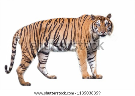 Tiger action on isolated. #1135038359