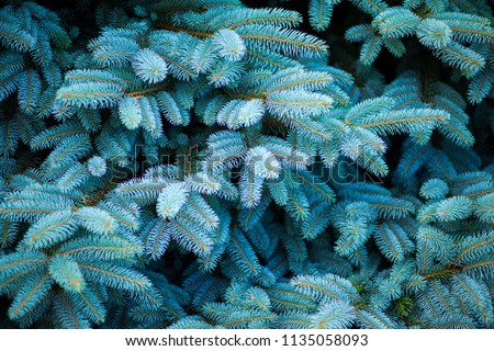 Blue spruce, green spruce, blue spruce, with the scientific name Picea pungens, is a species of spruce tree. Selective focus. Royalty-Free Stock Photo #1135058093